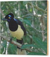Plush-crested Jay   Cyanocorax Chrysops Wood Print