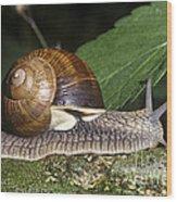 Pneumostome Of A Burgundy Snail Wood Print