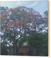 Poinciana In Summer Time Wood Print