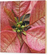 Poinsettias -  Pinks In The Center Wood Print