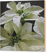 Poinsettias -  Winter White At Night Wood Print