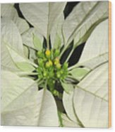 Poinsettias -  Winter White Center Wood Print