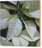 Poinsettias -  Winter Whites In Contrast Wood Print