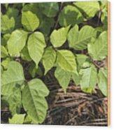 Poison Oak Vine - Toxicodendron Wood Print