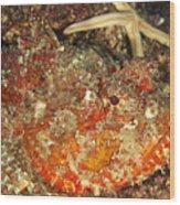 Poisonous Stone Fish, Scorpaena Mystes Wood Print