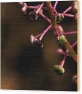 Pokeweed Emerges - Wc Wood Print
