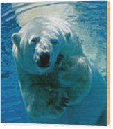Polar Bear Contemplating Dinner Wood Print