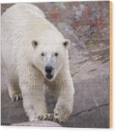 Polar Bear Prowl  Wood Print