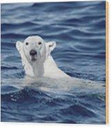 Polar Bear Swimming Baffin Island Canada Wood Print