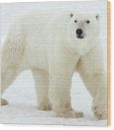 Polar Bear Ursus Maritimus Male Wood Print