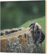 Pollen Dusted Bee Wood Print