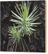 Ponderosa Pine 3 Wood Print