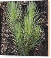 Ponderosa Pine 4 Wood Print