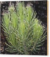 Ponderosa Pine 5 Wood Print