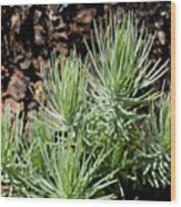 Ponderosa Pine 7 Wood Print