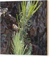 Ponderosa Pine 8 Wood Print