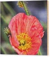 Poppy Flower Wood Print