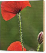 Poppy Image Wood Print