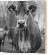 Portrait Of A Dairy Cow In The Rain Stowe Vermont Wood Print