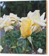 Portland Roses #3 Wood Print