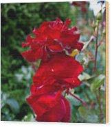 Portland Roses #6 Wood Print