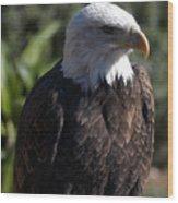 Portrait Bald Eagle  Wood Print