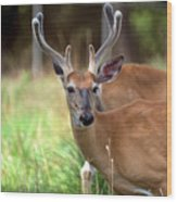 Portrait Of A Beautiful Buck  Wood Print