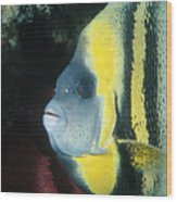 Portrait Of A Cortez Angelfish Wood Print
