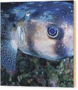 Portrait Of A Freckled Porcupinefish Wood Print