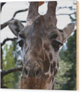 Portrait Of A Giraffe Wood Print