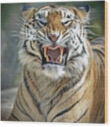 Portrait Of A Growling Tiger  Wood Print
