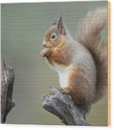Portrait Of A Red Squirrel  Wood Print