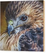 Portrait Of A Red-tailed Hawk Wood Print