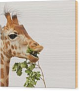 Portrait Of A Rothschild Giraffe IIi Wood Print