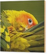 Portrait Of A Sun Conure Wood Print
