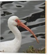 Portrait Of A White Ibis Wood Print