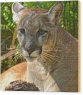 Portrait Of A Young Florida Panther Wood Print