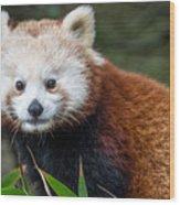 Portrait Of Cini The Red Panda Wood Print