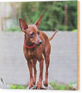 Portrait Of Red Miniature Pinscher Dog Wood Print