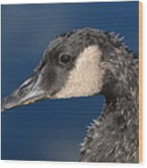 Portrait Of Young Canada Goose Wood Print