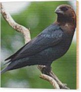 Posing Brown-headed Cowbird Wood Print