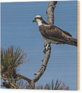 Posing Osprey Wood Print