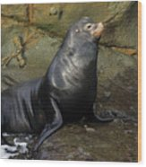 Posing Sea Lion Wood Print