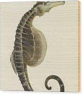 Pot Bellied Seahorse. Hippocampus Abdominalis Wood Print