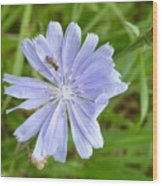 Powder Blue Chicory Wood Print