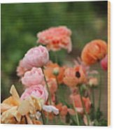 Powder Pink and Salmon Ranunculus Wood Print
