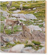 Practicing Baby Bighorn Sheep On Mount Evans Colorado Wood Print