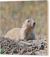 Prairie Dog  9255 Wood Print