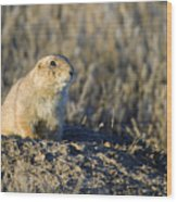 Prairie Dog Watchful Eye Wood Print