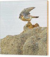 Prairie Falcon Wood Print